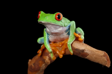 red eyed tree frog in rainforest Costa Rica curious cute night animal tropical exotic amphibian