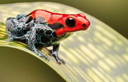 red poison arrow frog, beautiful macro of a tropical animal living in the Amazon rainforest of Peru. A poisonous amphibian often kept as an exotic pet in a rain forest terrarium.