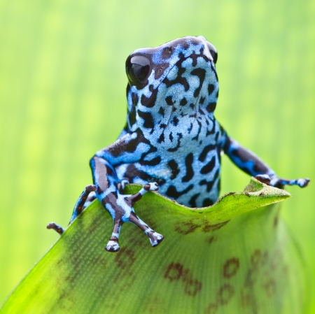 Blue strawberry poison dart frog from the tropical rain forest in Panama. Macro portrait of a colourful exotic rainforest amphibian. Dendrobates pumilio Colubre a poisonous animal.