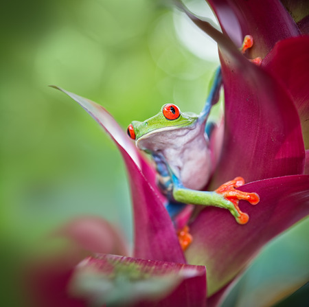 Foto de red eyed tree frog from the tropical jungle of Costa RIca, Nicaragua and Panama? macro of an exotic rain forest animal, rainforest treefrog - Imagen libre de derechos