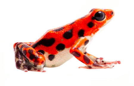 Poison dart frog from Red Frog Beach, Bastimentos, Panama. Tropical poisonous rain forest animal, Oophaga pumilio isolated on a white background.