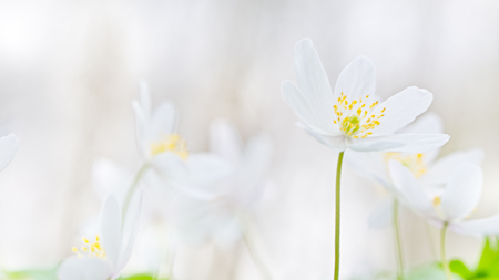 Foto de Wood anemone spring wild flowers soft focus blurred background with copy space. - Imagen libre de derechos