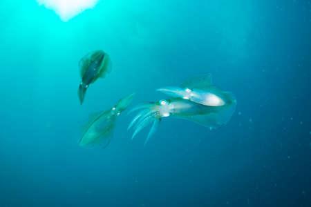Bigfin Reef Squid