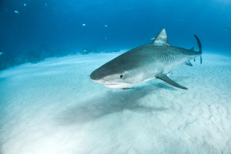 Photo for Picture shows a Tiger shark at the Bahamas - Royalty Free Image