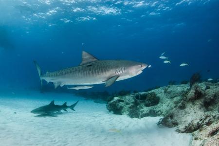 Photo pour Picture shows a Tiger shark at Tigerbeach, Bahamas - image libre de droit