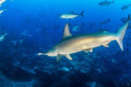 Photo pour Picture shows a Hammerhead Shark at Cocos Island, Costa Rica - image libre de droit