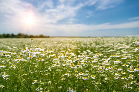 Photo for Blooming chamomile on the field - selective focus, copy space - Royalty Free Image