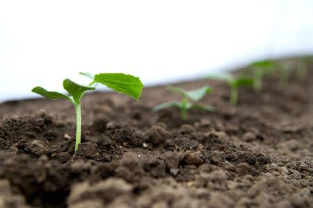 Foto de Cucumber seedlings growing in a greenhouse - selective focus, copy space, white background - Imagen libre de derechos