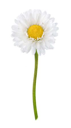 Photo for Daisy flower isolated on white background cutout - Royalty Free Image