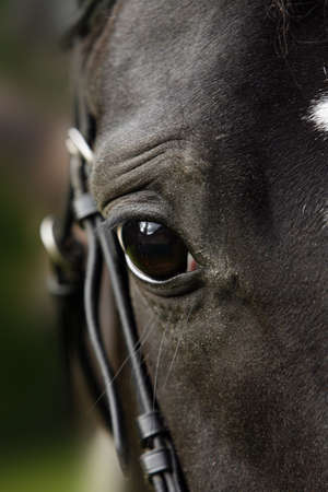 close-up of the head of a dark horse