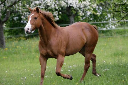running American quarterhorse
