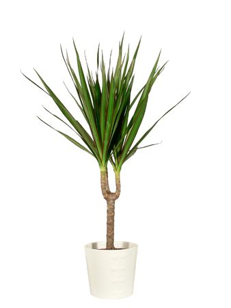 Dracaena in a pot the isolated