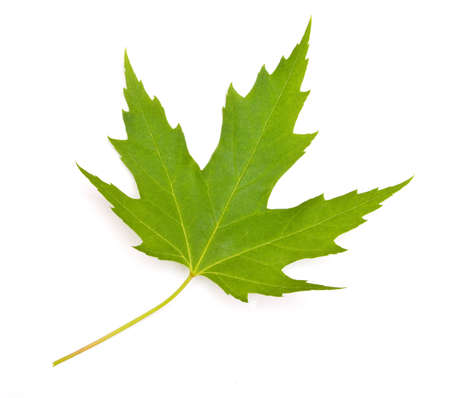 maple leaf on white background isolated