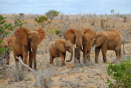 Foto per family of elephants in kenya - Immagine Royalty Free