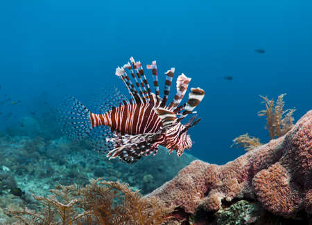 Colorful Lion fish over a coral reef in Bali, Indonesia