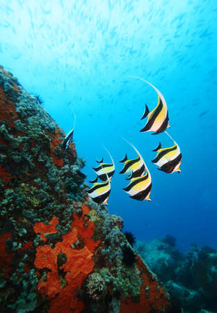 School of Moorish Idols