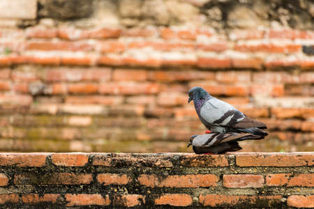 pigeon bird with an old brick background.
