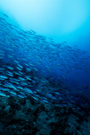 Photo pour School of blue Indian Mackerel underwater along the dive site main marine life resources under the sea , Baa Atoll, Maldives. - image libre de droit