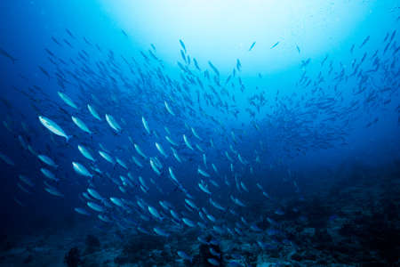 Foto de School of blue Indian Mackerel underwater along the dive site main marine life resources under the sea , Baa Atoll, Maldives. - Imagen libre de derechos