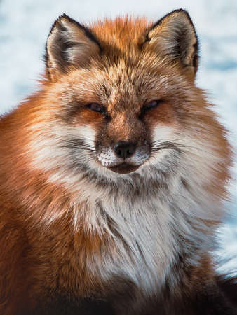 Photo pour fluffy cute red fox portrait during white cold winter , zao , miyagi prefecture , Tohoku Area , Japan. - image libre de droit