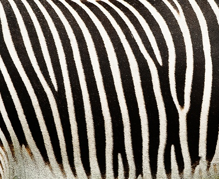Texture Background of a Zebra Fur