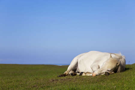 An white horse eyes closed laying down and sleeping in a field