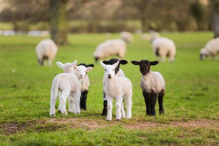 Foto de Young baby spring lambs and sheep in a green farm field - Imagen libre de derechos