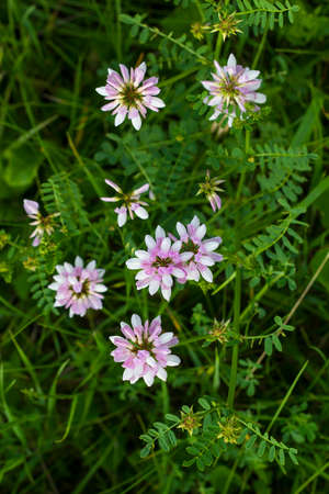Pink wildflowers. Clover pink flowers. Pink flowers in meadow. Trifolium hybridum pale pink flowers view from above