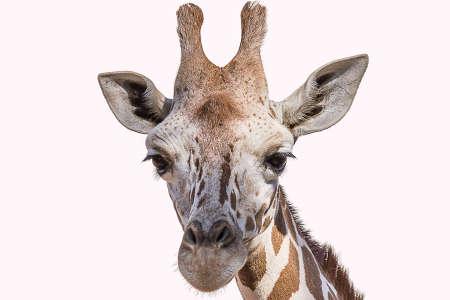 Foto de The Angolan giraffe (Giraffa giraffa angolensis), also known as the Namibian giraffe, is a subspecies of giraffe that is found in northern Namibia - Imagen libre de derechos