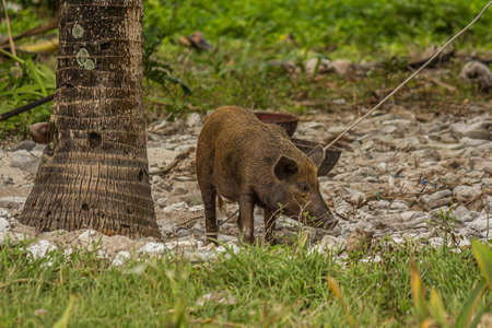 The pig is tied behind a hind paw to a tree so that it does not run away. Shot of a polinesian village on a tiny corall atoll (Fanning Atoll, Kiribati) in the middle of the Pacific Ocean