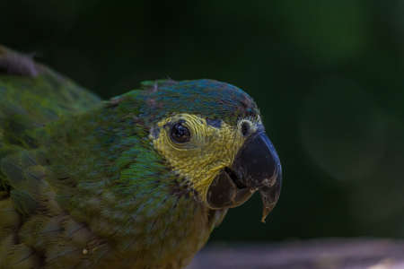 Photo pour The blue-fronted or turquoise-fronted amazon (Amazona aestiva) sits and eat pasta. Its a mainly green parrot about 38 cm (15 in) long. It is found in forests, woodland, savanna and palm groves - image libre de droit