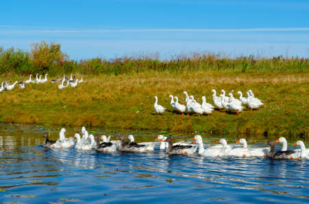 Photo for A flock of geese floating on the water of the river on the background of other birds walking quickly on the green Bank with grass to the bushes. - Royalty Free Image