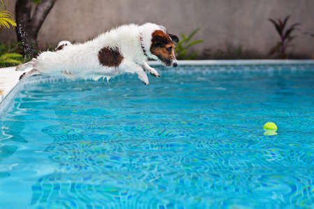 Photo pour Playful jack russell terrier puppy in swimming pool has fun - dog jump and dive underwater to retrieve ball. - image libre de droit