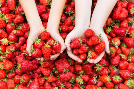 Red ripe fresh strawberries in kids hands on strawberry background.