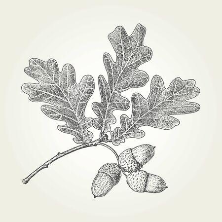 Illustration pour Oak leaves and acorns drawing. Vintage vector engraved illustration - image libre de droit