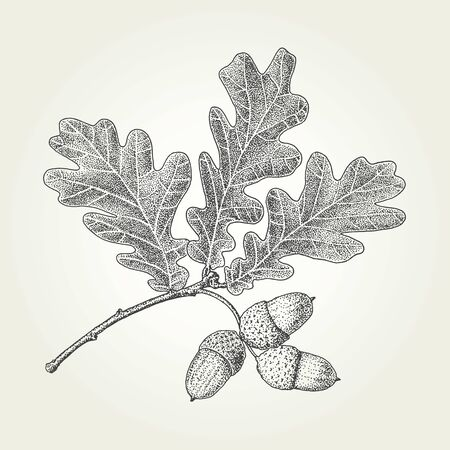 Illustration for Oak leaves and acorns drawing. Vintage vector engraved illustration - Royalty Free Image