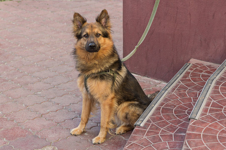 Young german shepherd on a leash expects host. Pets