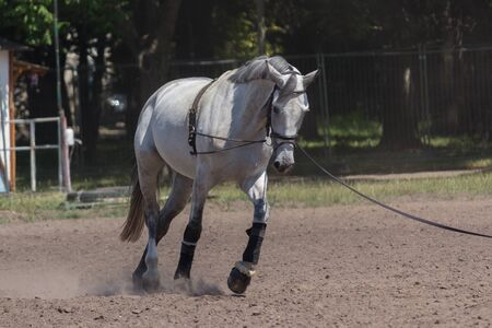 White horse while training at the racetrack. Animals