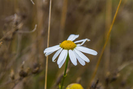 Chamomile (Latin Matric�°ria) - a genus of perennial flowering plants of the family Asters, or Asteraceae, combines about twenty species of low odorous herbs blooming in the first year of life.