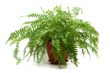 fern in a brown pot isolated on white backgroundの写真素材