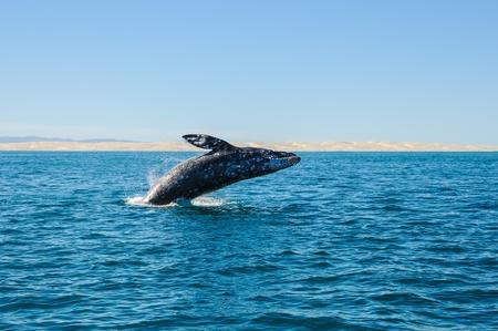 breaching gray whale in guerrero negro, Mexico