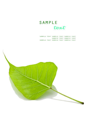 Fallen leaf on white background(Leaf of Bodhi tree, Buddhism spiritual symbol)