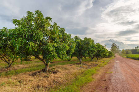 Foto per Mango farm at Noen Maprang, Phitsanulok, countryside of Thailand - Immagine Royalty Free