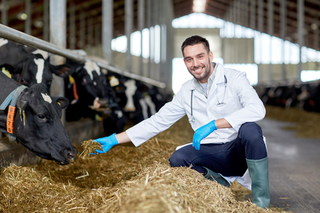veterinarian feeding cows in cowshed on dairy farm