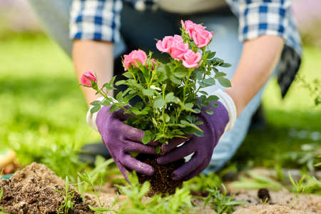 Photo for woman planting rose flowers at summer garden - Royalty Free Image