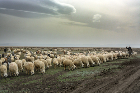 Lambs are controlling the shepherd