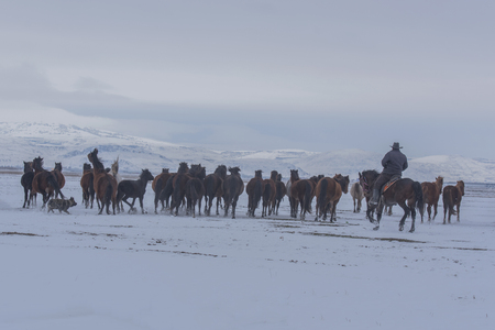 horses on the snow come from the mountain