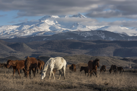 snowy mountain foothills, horses eating feast