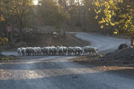 lambs on the way, shepherdless herd