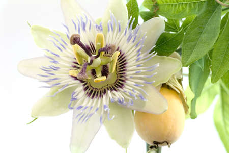 Close up of passiflora (passion fruit and passionflower) on white background